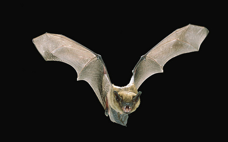 Bats 'Zoom In' For Safe Travels - Science World Report | Bat Biology and Ecology | Scoop.it