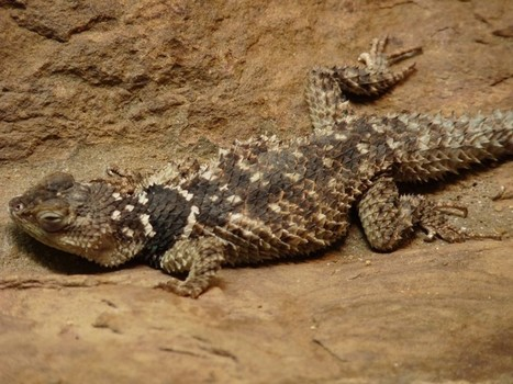 Photos de reptile: Sceloporus serrifer | Fauna Free Pics - Public Domain - Photos gratuites d'animaux | Scoop.it