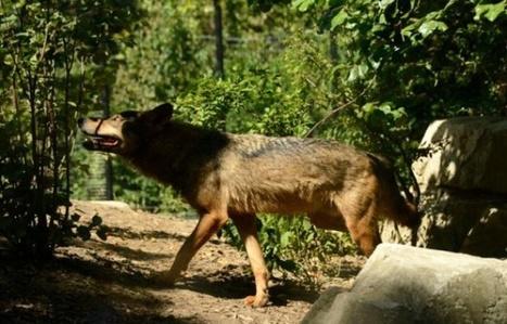 Une louve abattue dans la Drôme, une première dans ce département | animals rights and protection | Scoop.it