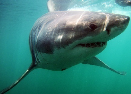 Researchers worried about genetic diversity of South Africa's white sharks | Global change | Scoop.it