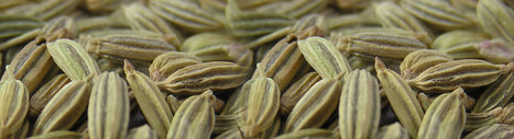 Cumin Seed Suppliers in India, Indian Cumin Seed Exporter | Agrocrops | Scoop.it