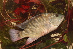 Rise of Chinese feed pigment industry; Brazil's tilapia project | Mina Tani Semesta | Scoop.it