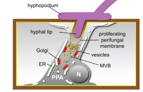 Multiple Exocytotic Markers Accumulate at the Sites of Perifungal Membrane Biogenesis in Arbuscular Mycorrhizas | msnicolodi@yahoo.com.br | Scoop.it
