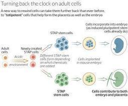 Stem cell power unleashed after 30 minute dip in acid - health - 29 January 2014 - New Scientist | Knowmads, Infocology of the future | Scoop.it