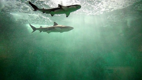 L'Avenir ⎥Deux requins en vacances à l'Aquarium de Liège   L'actualité de l'Université de Liège (ULg)   Scoop.it