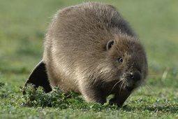 Man killed by Belarussian beaver | Quite Interesting News | Scoop.it