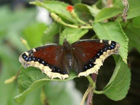 Photo de Papillon : Morio - Nymphalis antiopa - Mourning Cloak - Camberwell Beauty | Fauna Free Pics - Public Domain - Photos gratuites d'animaux | Scoop.it