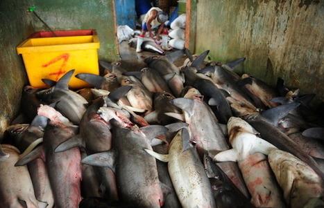 L'Indonésie a beaucoup de mal à faire respecter la protection des requins et raies Manta | Rays' world - Le monde des raies | Scoop.it