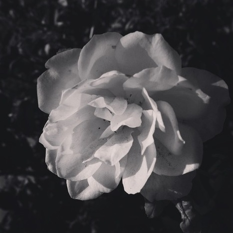 White Rose in Black and White [Photo] | A Gardener's Notebook | Douglasewelch | Scoop.it
