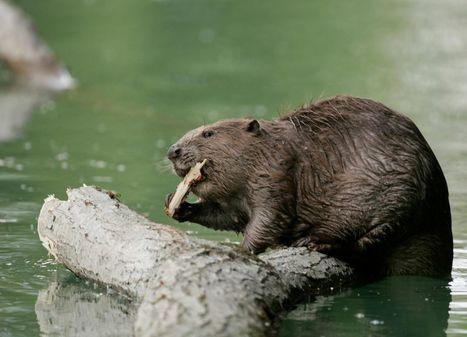 Le retour du castor en Ile-de-France   Paris durable   Scoop.it