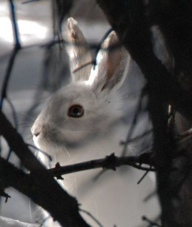 Global warming shifts range of showshoe hares | Farming, Forests, Water, Fishing and Environment | Scoop.it