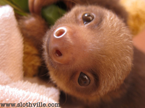» Baby Sloth Orphanage: The Cutest Place on Earth   sloths   Scoop.it