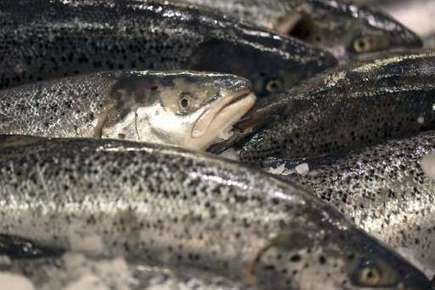 Salmon sickness detected in farmed Canadian fish | Sustain Our Earth | Scoop.it