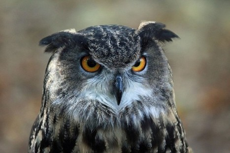 Eagle Owls in the UK - Native or Not? - Conservation Articles & Blogs - CJ | Wildlife and Conservation | Scoop.it