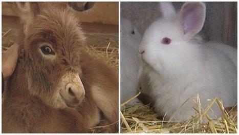 Périgord : l'histoire d'un petit âne gris... et d'un lapin laineux - France 3 Aquitaine   Agriculture en Dordogne   Scoop.it