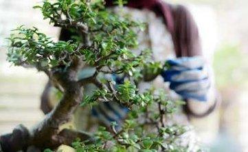 Entretenir un bonsaï en trois leçons | Bonsai Express | Scoop.it