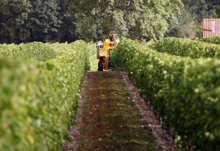 Vignoble cognaçais: premières vendanges espérées au 7 octobre   Actualités du Cognac   Scoop.it