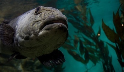 Sex in the sea: Uncovering the mating behavior of Giant Sea Bass | #SciFund | Scoop.it