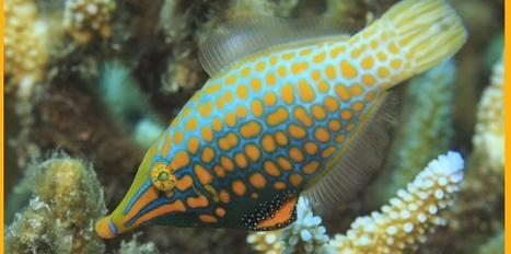 Ce poisson sent le corail, et ça lui sauve la vie | Biologie marine | Scoop.it