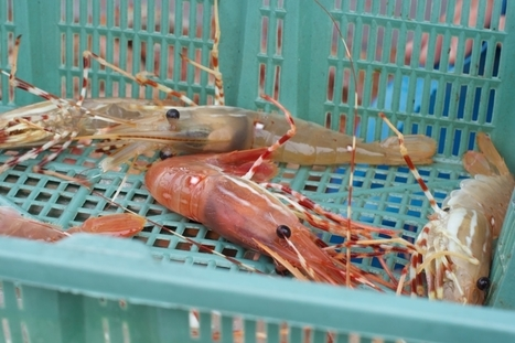 Spot Prawns Are Canada's Sustainable, Slave-Free Shrimp | On the Plate | Scoop.it
