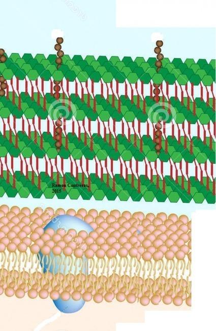 Pared celular bacteriana | La guía de Biología | Educacion, ecologia y TIC | Scoop.it
