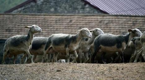 Dans le Larzac, des éleveurs ovins cultivent l'autonomie - 20 Minutes | Le Fil @gricole | Scoop.it