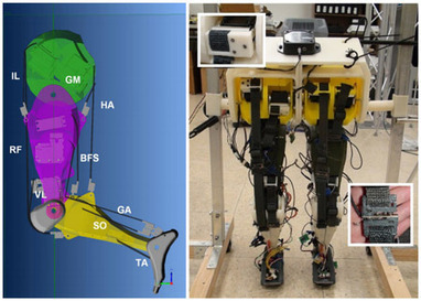 Bio-Insipired Robot Legs Walk With Rhythm - IEEE Spectrum | The Robot Times | Scoop.it