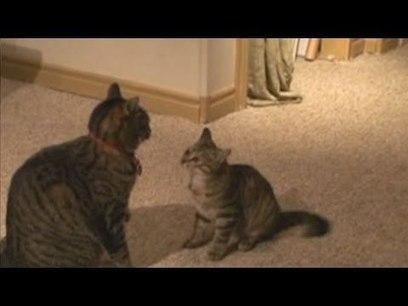 Chatons – CAT NINJA UTILISATIONS TOMAHAWK! :-O! - Video drole | Drôles de chats !!!!! | Scoop.it