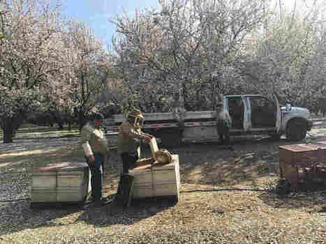 With Bees In Trouble, Almond Farmers Try Trees That Don't Need 'Em | Organic Farming | Scoop.it