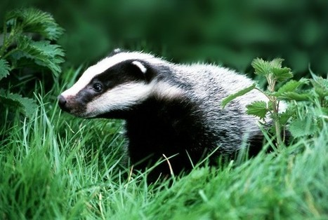 Testing 'better than badger cull' say scientist... | wildlife | Scoop.it
