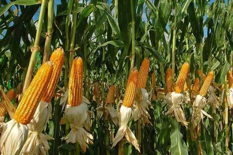 76% of U.S. corn crop in good or excellent condition | Grain du Coteau : News ( corn maize ethanol DDG soybean soymeal wheat livestock beef pigs canadian dollar) | Scoop.it