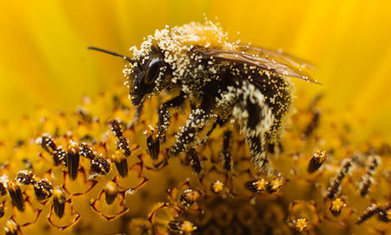 Loss of bees and wild pollinators serious threat to crop yields, study finds - | Biodiversity IS Life -- Conservation,Ecosystems,Wildlife,Rivers,Water,Forests | Scoop.it