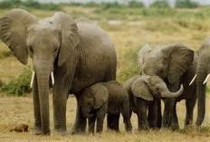 Eight suspects arrested for killing elephant in Ogun forest - Premium Times   Kruger & African Wildlife   Scoop.it