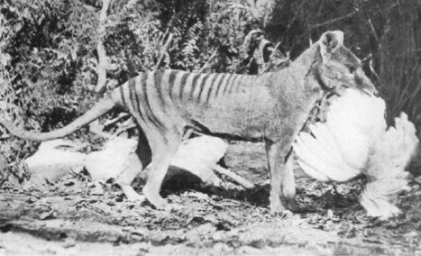 Disparu depuis 80 ans, le tigre de Tasmanie sera bientôt cloné ... | Biodiversité & Relations Homme - Nature - Environnement : Un Scoop.it du Muséum de Toulouse | Scoop.it