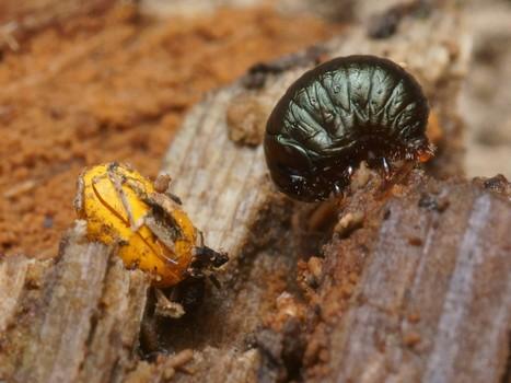 Le Monde des insectes : Œufs oranges - Timarcha sp. | Les colocs du jardin | Scoop.it