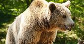Une pétition internationale en faveur de l'ours dans les Pyrénées - Ariegenews - 16 Mai 2013   Nature   Scoop.it