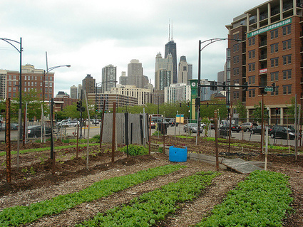 Chicago hearts urban agriculture [VIDEO] | Yellow Boat Social Entrepreneurism | Scoop.it