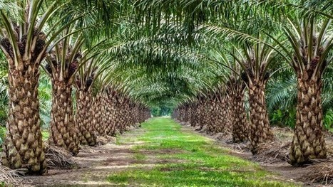 Researchers solve mystery of the mutated oil palms   Agronomic articles   Scoop.it