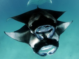 Manta Trust | Conservation through Research, Awareness and Education | Rays' world - Le monde des raies | Scoop.it
