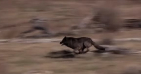 They released 14 wolves into a park and watched a miracle unfold proving we must take care of our amazing planet   Ecosystems at Risk   Scoop.it