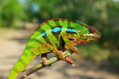 New chameleon species showcase fragile biodiversity in Madagascar | Gavagai | Scoop.it