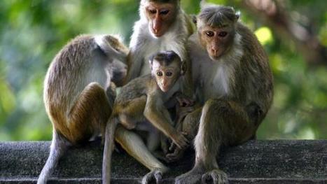 Polémique. Des singes du Sud-Loire ont-ils été maltraités ? - Ouest-France   Ces animaux sauvages ou domestiques maltraités par l'homme   Scoop.it