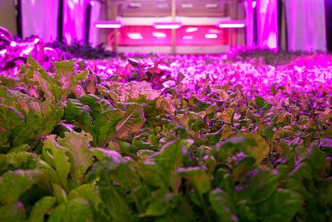 Lettuce, From a Skyscraper Near You   21st Century Living   Scoop.it