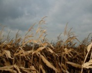 Corn Ethanol: Bad for Farmers, Consumers and the Environment - FARM SUBSIDIES | Biodiversity IS Life -- Conservation,Ecosystems,Wildlife,Rivers,Water,Forests | Scoop.it