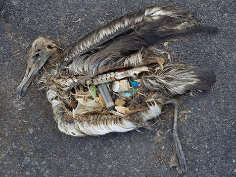 MIDWAY: BIRDS, SEA LIFE CONSUMING PLASTIC TO THEIR DEATH: THE GREAT PLASTIC TIDE | OUR OCEANS NEED US | Scoop.it
