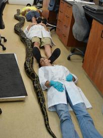 Capturan a la pitón más larga en Florida   Parque Nacional Everglades de Florida USA   Scoop.it