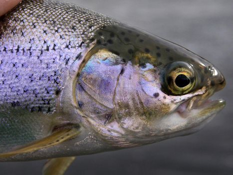 Whirling disease found in Banff National Park, posing threat to trout populations | Aquaculture Directory | Scoop.it