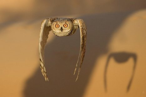 Swooping pharaoh eagle-owl hunts in the desert | Biodiversity protection | Scoop.it