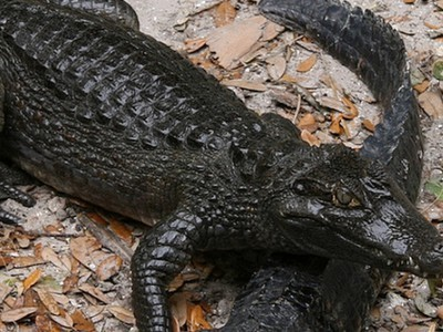 """Could """"Gatorponics"""" Revive Defunct Chicken Farms? 