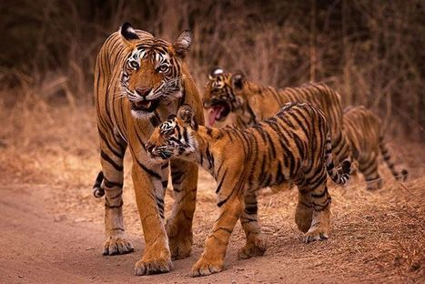 Golden Triangle with Tigers, Golden Triangle Tour | Voyage Inde Autrement | Scoop.it